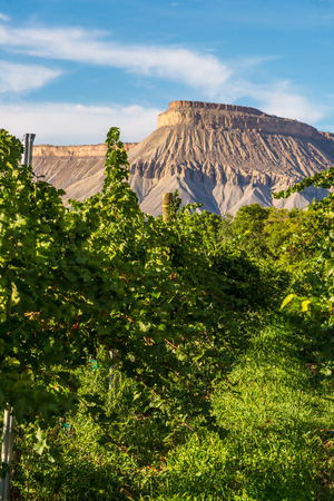 Raws of grape vines at vineyard ready for harvest in Colorado  Stock Photo