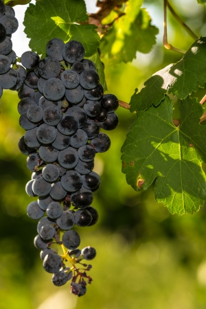 Several bunches of ripe grapes on the vine ready for harvest in the sunlight Stock Photo