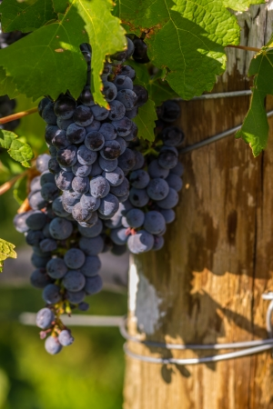 phillip rubino: Red wine grapes in the Vineyard at harvest time in Palisade, Colorado Stock Photo