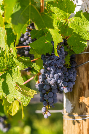Red wine grapes in the Vineyard at harvest time in Palisade, Colorado photo