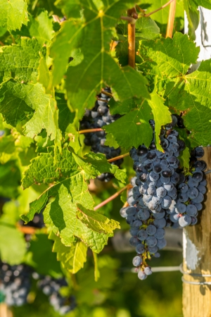 Red wine grapes in the Vineyard at harvest time in Palisade, Colorado Stock Photo