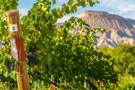 Red grapes ready to be harvested at a vineyard in Palisade, Colorado
