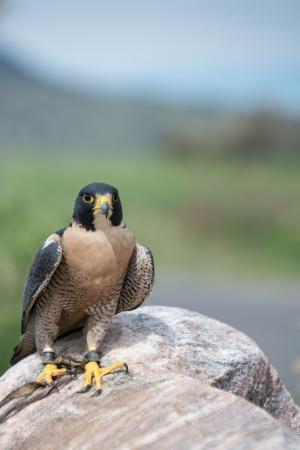 duck hawk in north america: Peregrine Falcon