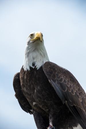 American Bald Eagle looking straight ahead