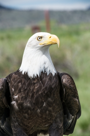 philliprubino: American bald Eagle looking to the right