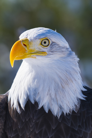 Close up of American Bald Eagle face