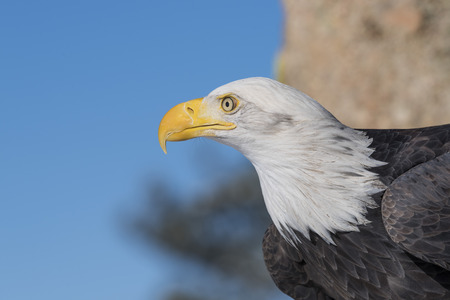 American Bald Eagle silhouette looking left Stock Photo