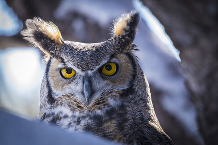 Great Horned Owl looking ahead from a tree in winter
