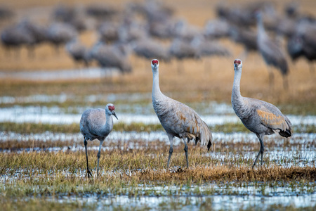 Three sandhill cranes standing in a yellow marshland in Colorado.