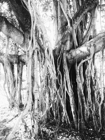 grayscale: A big banyan tree in a public park in grayscale
