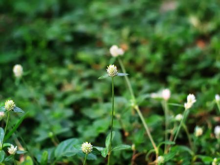 globosa: Bachelor�s button, Button agaga, Everlasting, Globe amaranth, Pearly Everlasting, or Gomphrena globosa