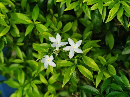 coffea: Psilanthus bengalensis or Paracoffea Stock Photo