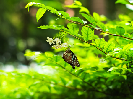 religiosa: Butterfly on Wrightia religiosa, a kind of flower