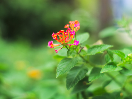 West Indian Lantana, Weeping Lantana or Lantana camara