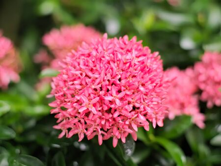 west indian: Pink Ixora coccinea or West Indian Jasmine with leaves Stock Photo