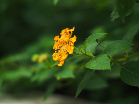 west indian: West Indian Lantana, Weeping Lantana or Lantana camara