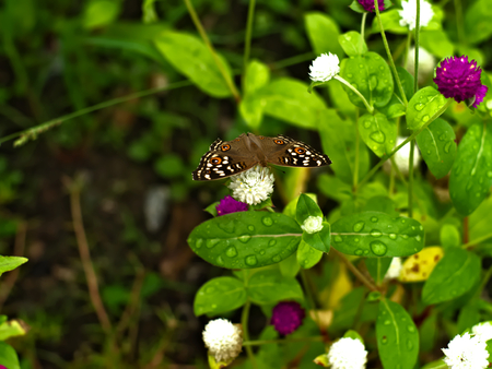 Butterfly on globe amaranth or bachelor button