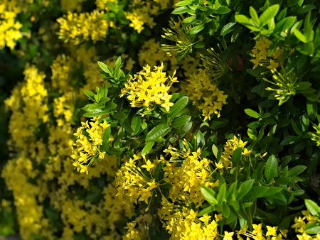 west indian: Yellow Ixora coccinea or West Indian Jasmine with leaves Stock Photo