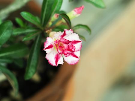 White and pink desert rose or impala lily or mock azalea (Adenium obesum)