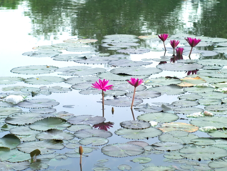 efflorescence: Water lilies, Nymphaea lotus, or Nymphaeaceae in a pool