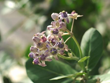 gigantea: blooming Calotropis gigantea or crown flower with leaves