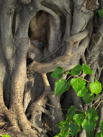 peepal: closeup shot of a sacred fig, bodhi tree, pippala tree, peepal tree or ashwattha tree, or Ficus religiosa
