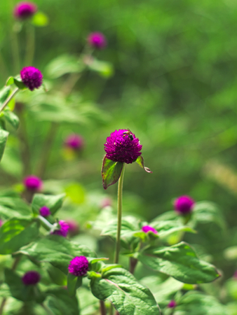 globosa: a fly on Bachelor�??s button, Button agaga, Everlasting, Globe amaranth, Pearly Everlasting, or Gomphrena globosa
