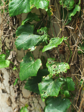 creeping plant: diseased and rotten Coccinia grandis,  scarlet gourd, or ivy gourd on concrete wall