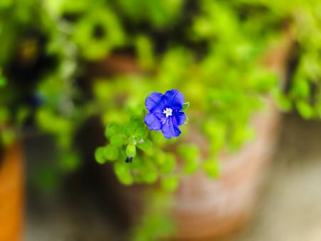 convolvulus: ground morning glory, blue rock bindweed, African bindweed, ground blue-convolvulus, Convolvulus mauritanicus, or Convolvulus sabatius mauritanicus Boiss