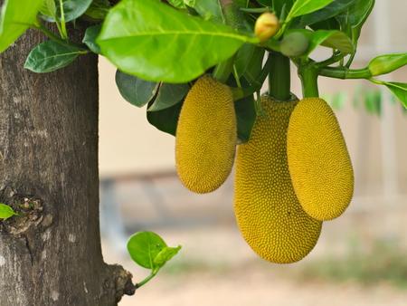 closeup shot of jackfruit tree with its ripe fruits