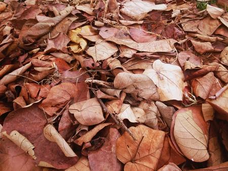 peepal: pile of dry sacred fig, bodhi tree, pippala tree, peepal tree or ashwattha tree, or Ficus religiosas leaves