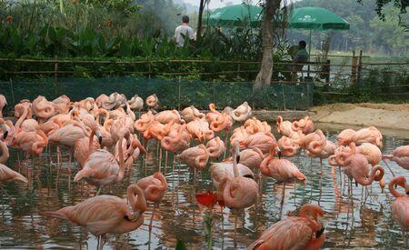 the crags: Zhaoqing, China - May 10, 2012 - Pink Flamingos at Seven Star Crags Park