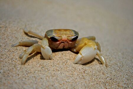 A Chinese sand crab with an oddly grumpy look about it 報道画像