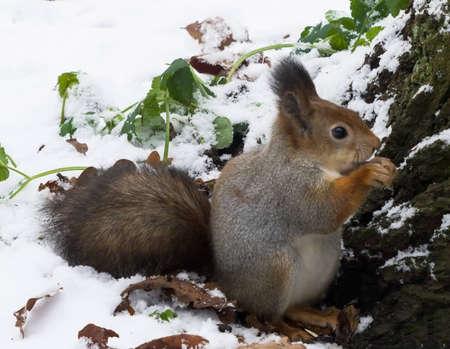 ardilla en la capa de plata que se sienta en la nieve