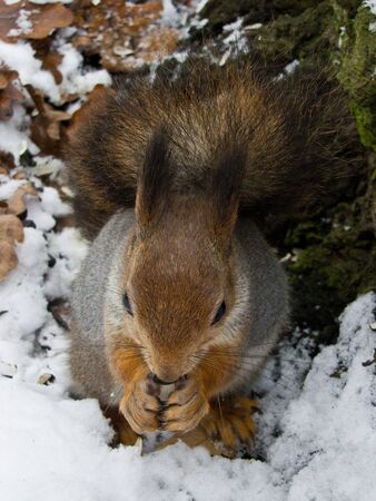 squirrel in the silver coat sitting in the snow photo