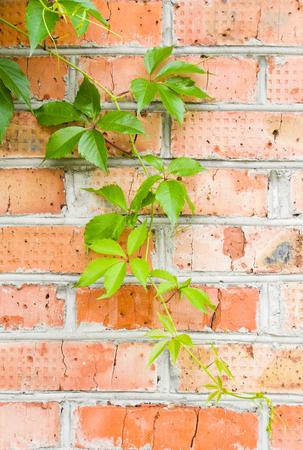 loach: brick wall with green loach crawling on it
