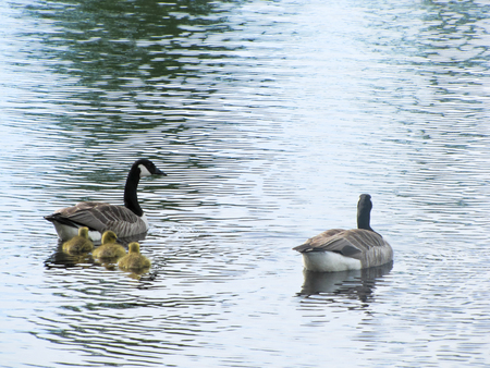 geese with goslings floating on the water Stock Photo