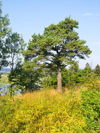 beautiful spreading tree on blue sky background