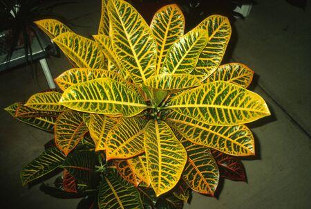 Codiaeum variegatum - Croton