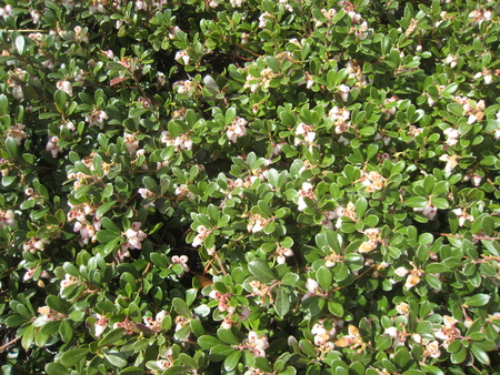 Kinnickkinnick (Arctostaphyllos uva-ursi) flowers Stock Photo