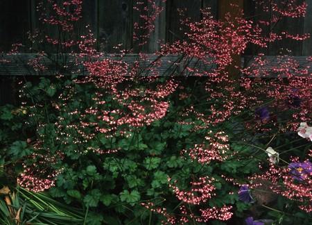 Corals Bells (Heuchera sanguinea) Фото со стока