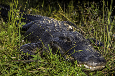 everglades national park: Alligator at Everglades National Park