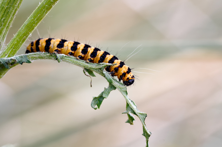 Photographed in the Sefton dunes at Formby. This caterpillar of the Cinnabar moth is making its way through its favourite food source, ragwort. Stock fotó