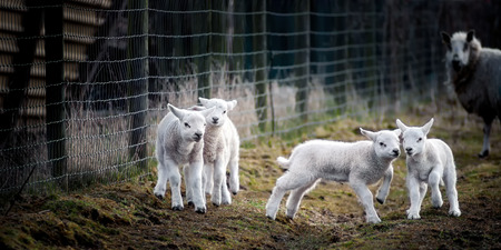 Some young lambs enjoying life and playing out in the field, while one of the parent Ewes watches. Stockfoto