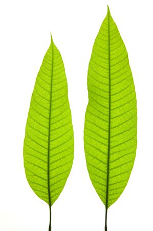 mango tree: Two young mango leaves isolated on the white background