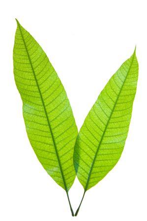 mango fruta: Dos j�venes hojas de mango aislado en blanco