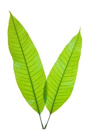 mango leaf: Two young mango leaves isolated on white Stock Photo