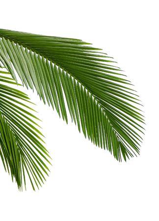 Die Blätter der Palme isoliert auf weißem Hintergrund