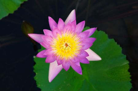 Beautiful waterlily floating in a pond,view from top. Stock Photo - 3876206