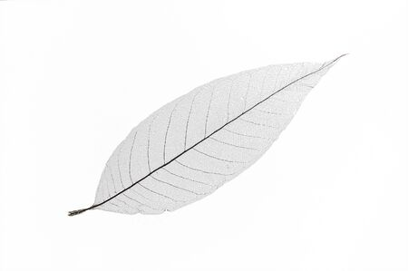 minty: Dry translucent leaf isolated on white background,only nervure left in leaf.  Stock Photo